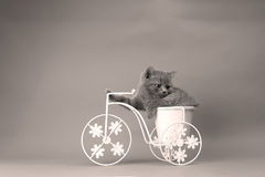Kitten riding the bike. British Shorthair kitten sitting in a flower pot bicycle Royalty Free Stock Photo