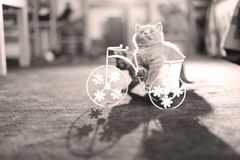 Kitten riding a bike. British Shorthair kitten sitting in a flower pot bicycle Stock Photo