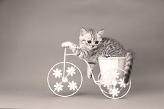 Kitten riding a bike. British Shorthair kitten sitting in a flower pot bicycle shape Royalty Free Stock Photos