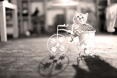 Kitten riding a bike. British Shorthair kitten sitting in a flower pot bicycle shape Stock Images