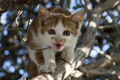 A kitten roaring on tree Royalty Free Stock Image