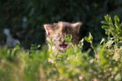 Kitten roars Stock Image