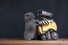 Kitten and a robot. British Shorthair kitten and Wall-e robot royalty free stock photos