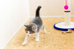 Kitten in  room and scratching post Royalty Free Stock Photography