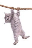 Kitten with rope. Small striped kitten Scottish tabby breed. animal hanging on a rope isolated on white background Royalty Free Stock Images