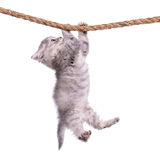 Kitten with rope Royalty Free Stock Photo
