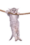 Kitten with rope. Small striped kitten Scottish tabby breed. animal hanging on a rope isolated on white background Royalty Free Stock Photos