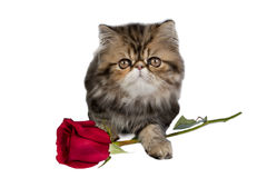 Kitten with rose Royalty Free Stock Photography