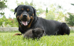 Kitten and rottweiler Royalty Free Stock Images