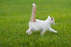 Kitten Running blanca y anaranjada linda a través de la hierba foto de archivo libre de regalías