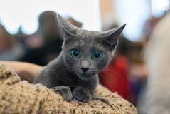 Kitten of Russian Blue Cat with blue eyes close up pet, cat resting. Kitten of Russian Blue Cat with blue eyes close up domestic pet, cat resting stock image
