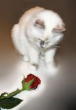 Kitten's first Rose. Capturing a beautiful moment in time, of Kitten's first rose royalty free stock image