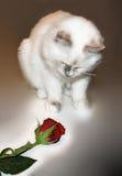 Kitten's first Rose royalty free stock image