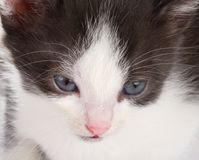 Kitten's muzzle Royalty Free Stock Photos