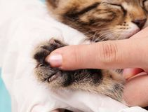 Kitten's paw. Little fluffy kitten's paw and woman finger for contrast close-up stock image