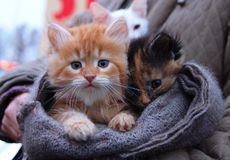 Kitten for sale in scarf. Foxy-red orange white kitten boy and black brown kitten girl. Sad kitten red cat. Orange baby cat tiger Royalty Free Stock Photography