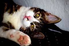Kitten Saying Hello. A domestic cat lying on a couch, saying `Hello` with is paw raised royalty free stock images
