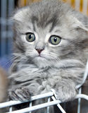 Kitten Scottish Stock Images