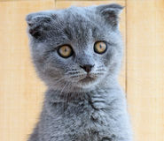 Kitten Scottish breed with cropped ears. Watch carefully Stock Images