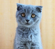 Kitten Scottish breed with cropped ears. Watch carefully Stock Image