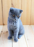 Kitten Scottish breed with cropped ears. Watch carefully Royalty Free Stock Image