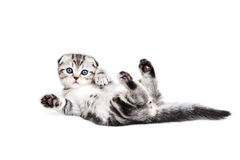Kitten the Scottish Fold. (lop-eared) lies on a back and waves a paw Royalty Free Stock Photography