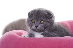 Kitten - scottish fold. Little Grey kitten, scottish fold Royalty Free Stock Photo