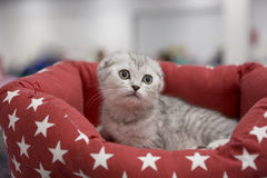 Kitten Scottish fold blue brindle. Scottish fold cats is a rarity. In the world there are only a few breeds with this original feature, and the most famous of Stock Photos