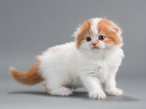 Kitten scottish fold breed Royalty Free Stock Images