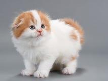 Kitten scottish fold breed Stock Images