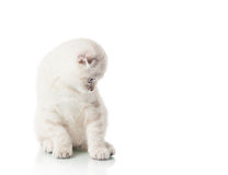 Kitten of Scottish Fold breed Stock Image