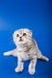 Kitten scottish fold breed Royalty Free Stock Photos
