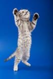 Kitten scottish fold breed Stock Photos