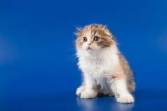 Kitten scottish fold breed Stock Photography
