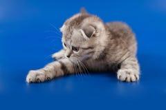 Kitten scottish fold breed Royalty Free Stock Image
