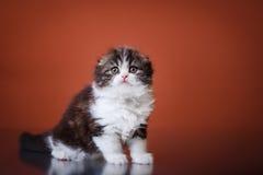 Kitten scottish fold breed Stock Image