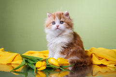 Kitten scottish fold breed Stock Image
