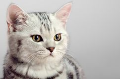 Kitten scottish fold Stock Photo