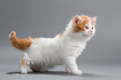 Kitten Scottish Straight breed Stock Photos
