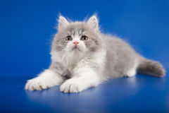 Kitten scottish straight breed Royalty Free Stock Photos