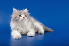 Kitten scottish straight breed Stock Images