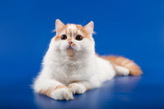 Kitten scottish straight breed Royalty Free Stock Image
