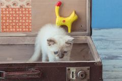 Kitten of Scottish Straight breed with blue eyes sits inside vin Stock Images
