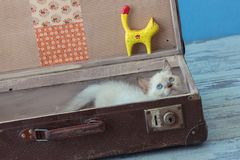 Kitten of Scottish Straight breed with blue eyes sits inside vin Stock Photography