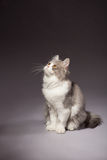 Kitten scottish straight breed Stock Images