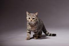 Kitten scottish straight breed Royalty Free Stock Image