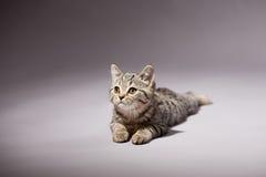 Kitten scottish straight breed Royalty Free Stock Photography