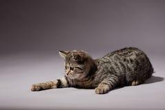 Kitten scottish straight breed Stock Photography