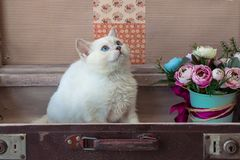 Kitten of Scottish Straight breed inside old suitcase with bouqu Royalty Free Stock Photo