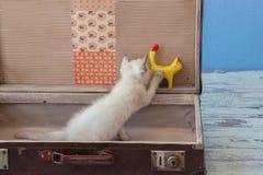 Kitten of Scottish Straight breed inside vintage suitcase Royalty Free Stock Photos